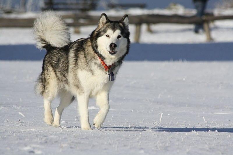 El Alaskan Malamute es un perro para climas fríos