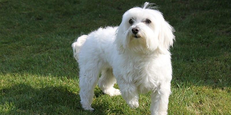 Perros de pelo blanco
