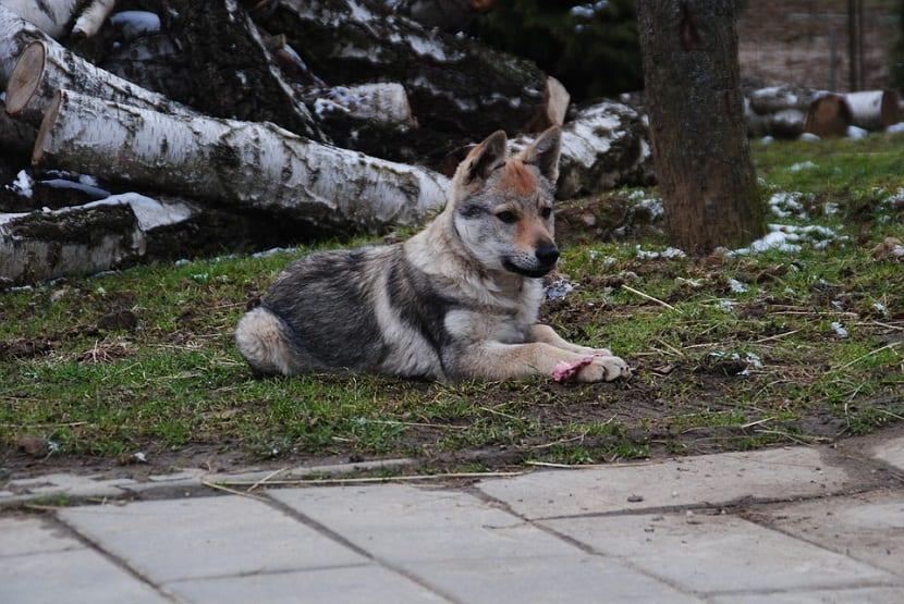 Caracteristicas del perro lobo