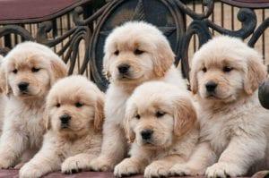 Ventajas y desventajas de la consanguinidad en perros