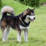 El Alaskan Malamute es un perro precioso