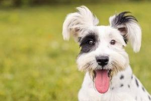 Hemos oído hablar con mucha frecuencia acerca de los probióticos al igual que los prebióticos para los perros