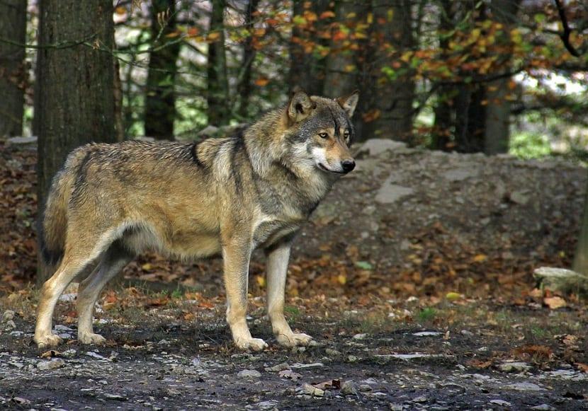 cuidados especiales de los perros lobos