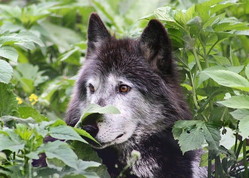Historia de los perros lobos