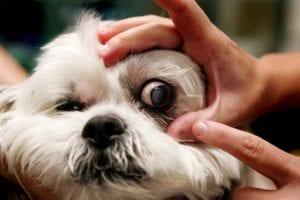Enfermedad de Horner en perros