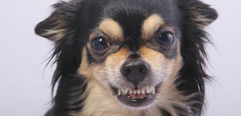 Los perros pueden adquirir malos hábitos como la agresividad o la ansiedad por separación.