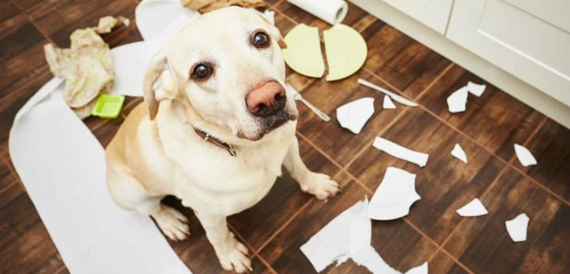 Destruir objetos es común en los perros con problemas de comportamiento.