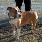 El American Staffordshire Terrier es un animal maravilloso