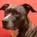 El Amstaff es un perro que puede pesar 20kg