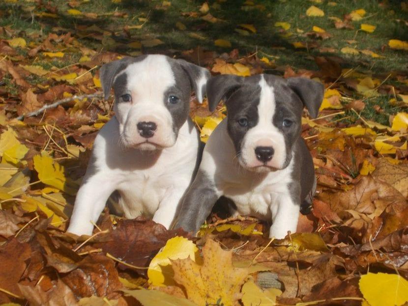 Los cachorros de amstaff son adorables