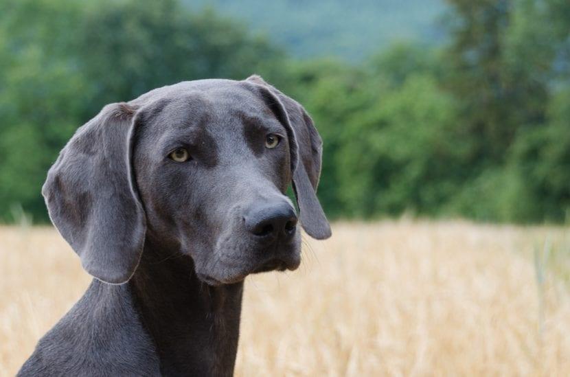 Perro de Braco de Weimar en el campo