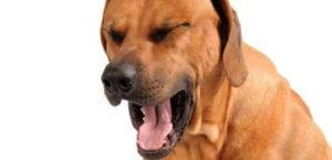 Perro con tos