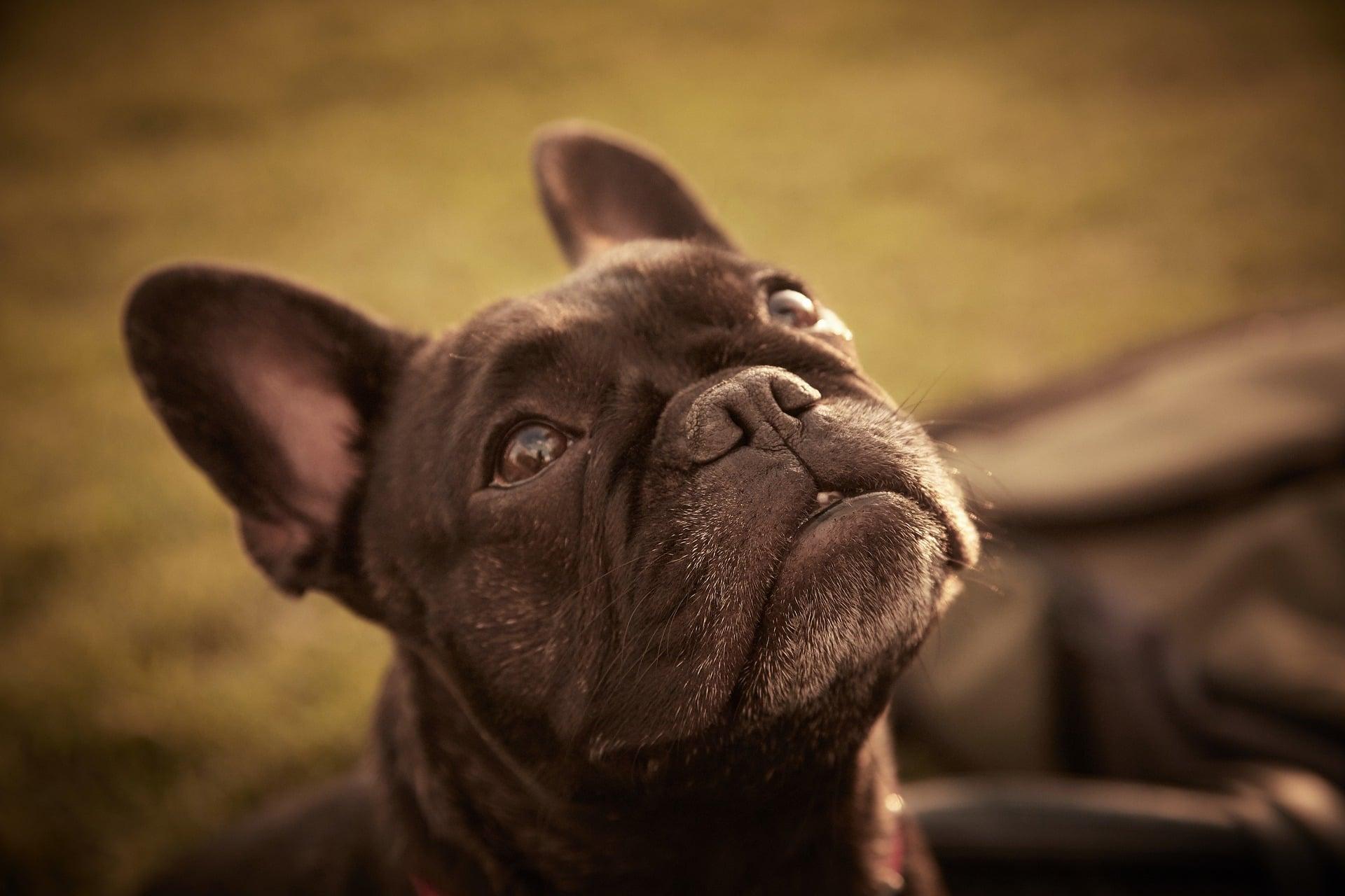 El hígado inflamado es un problema serio en perros