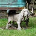 El cachorro de Braco de Weimar es muy dulce