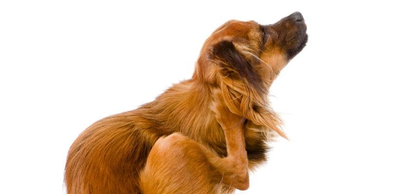 Los perros también pueden tener caspa.