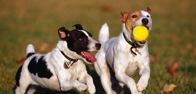 Perros jugando con pelota
