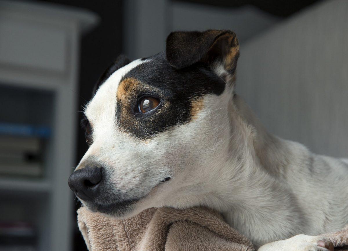 Si tu perro tiene hepatitis debes llevarlo al veterinario
