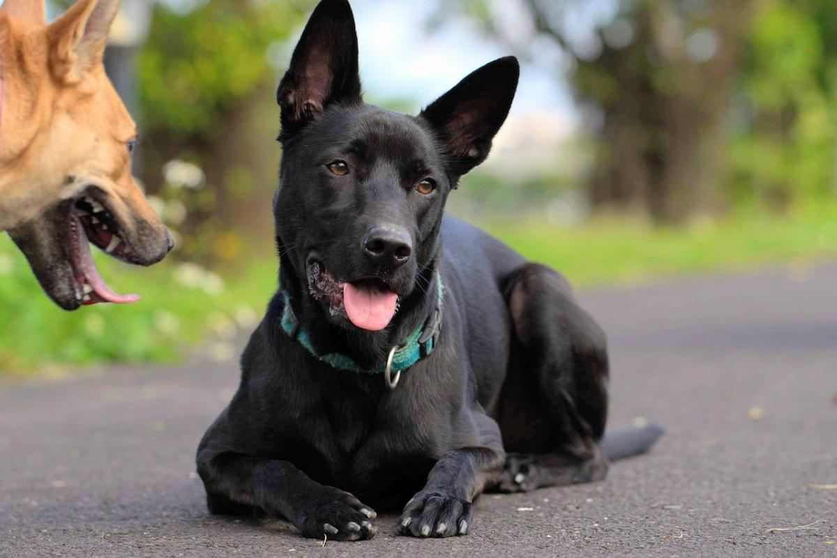 Enfermedades Que Hacen Que Un Perro Deje De Ladrar Mundo Perros