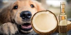 Beneficios del aceite de coco para los perros