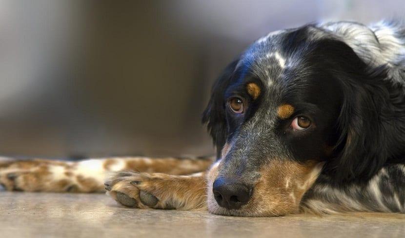 perro triste por enfermedad