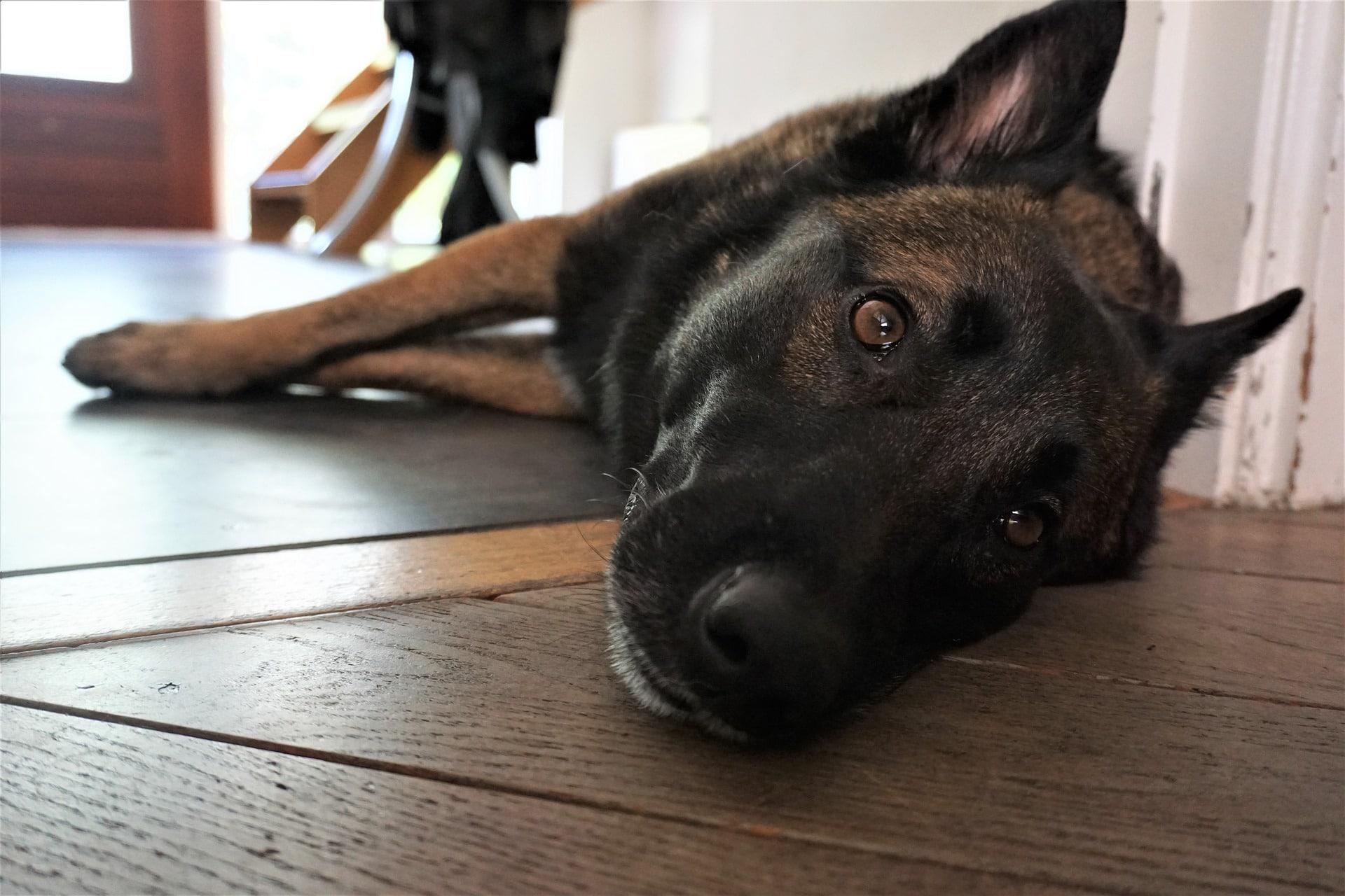 Los perros con problemas de hígado se muestran tristes