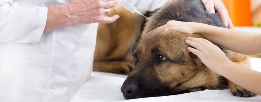 Podemos decir que la tos de las perreras es muy parecida a la gripe que ocurre en el ser humano