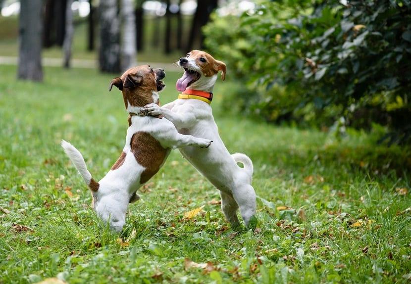 segunda esterilización en perras