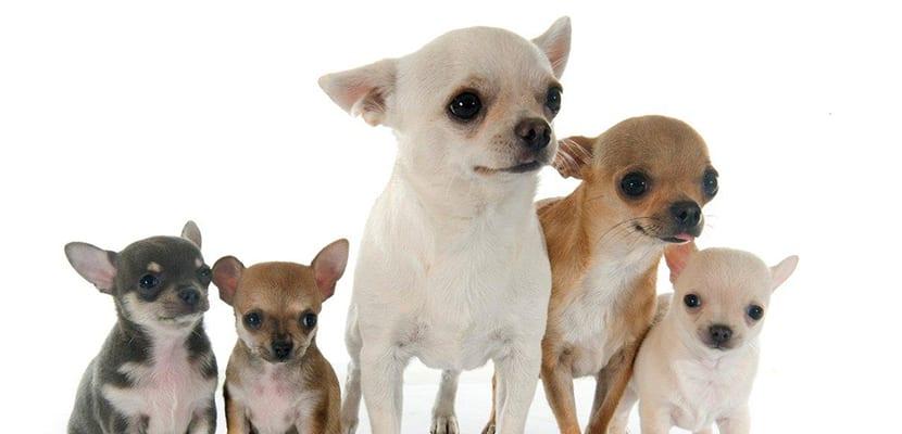 Chihuahua pequeño