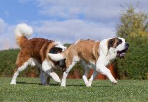 ¿Una perra esterilizada puede tener el celo?