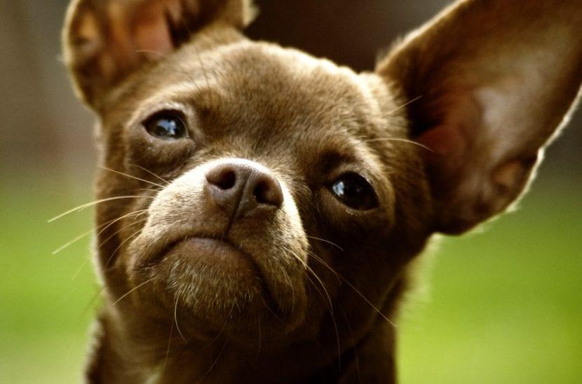 El chihuahua es un animal precioso
