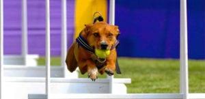 El flyball es un deporte canino que tiene su origen en un dispositivo del mismo nombre.