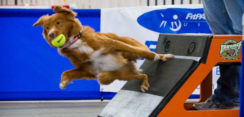 Cada perro debe realizar una carrera de obstáculos hasta llegar al dispositivo flyball.