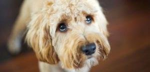 La leishmaniosis o leishmaniasis es una enfermedad que daña el sistema inmunitario del perro.