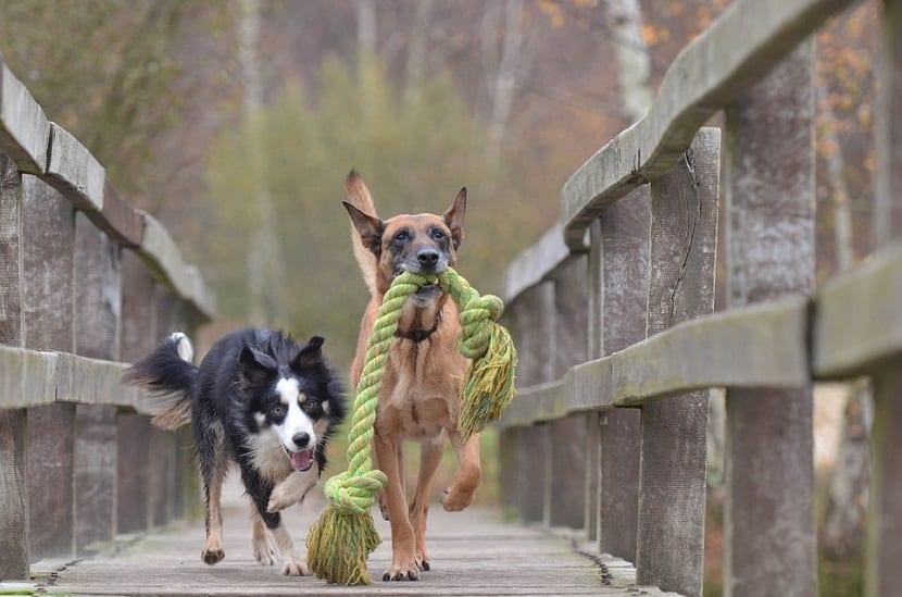 Los perros evidentemente no tienen la capacidad de hablar, por eso gruñen