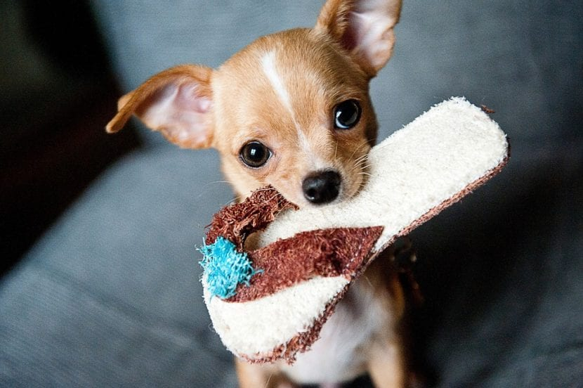 El chihuahua es un perro muy dulce