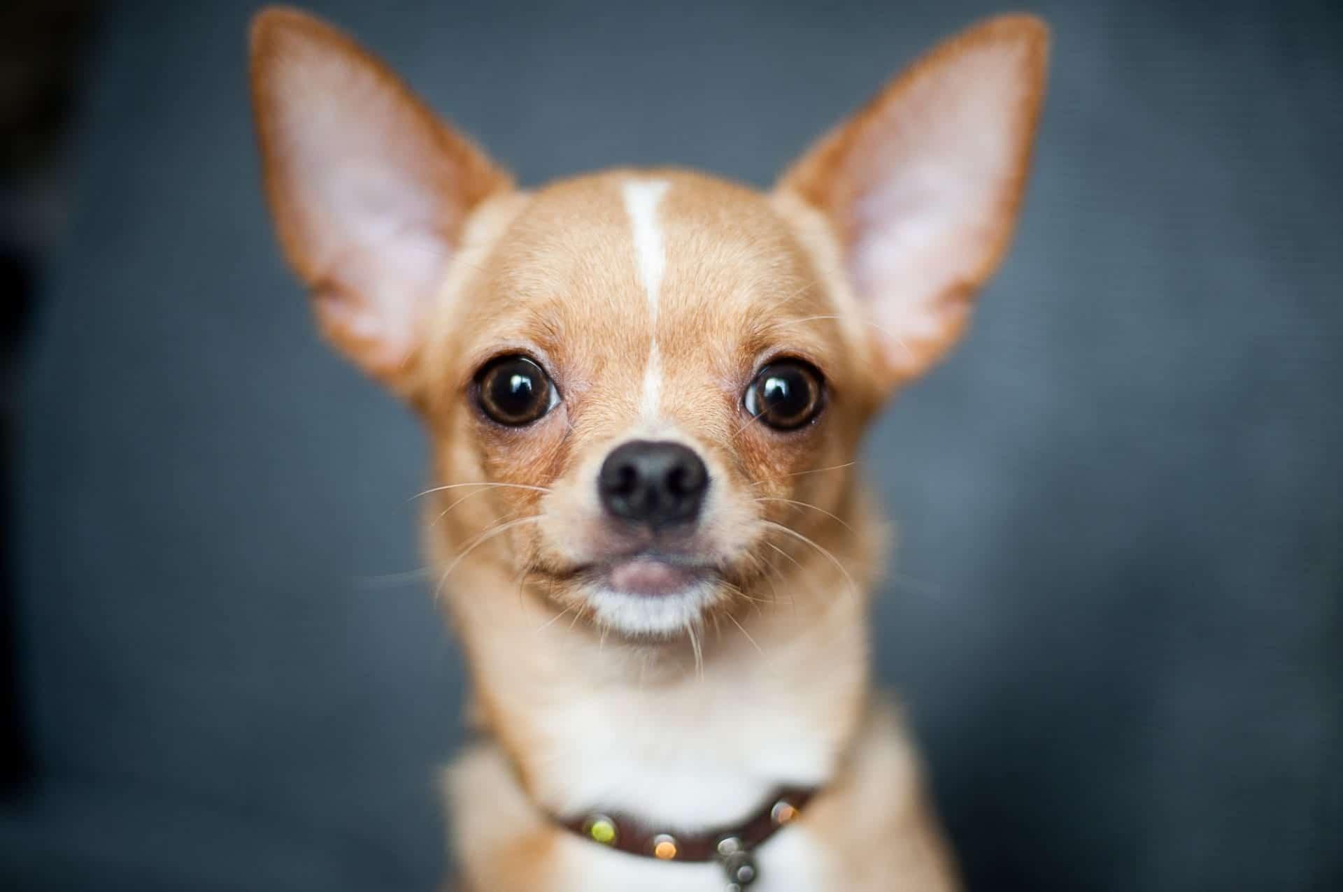 El chihuahua es el perro más pequeño del mundo