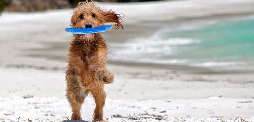 Los perros diabéticos deben hacer deporte