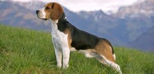 Enfermedades en los Beagle