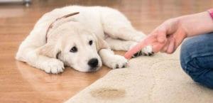 Una de las costumbres más molestas y difíciles de eliminar de los perros es la de orinar en cualquier rincón de nuestra casa.