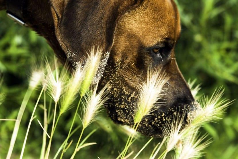 Eliminar las espigas del cuerpo del perro