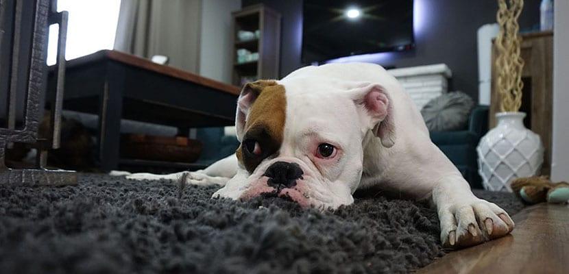 Perro aburrido en casa