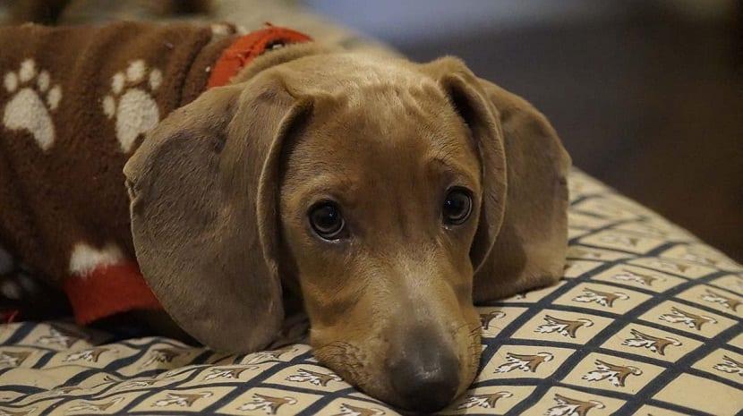 Sintomas del megaesofago en perros