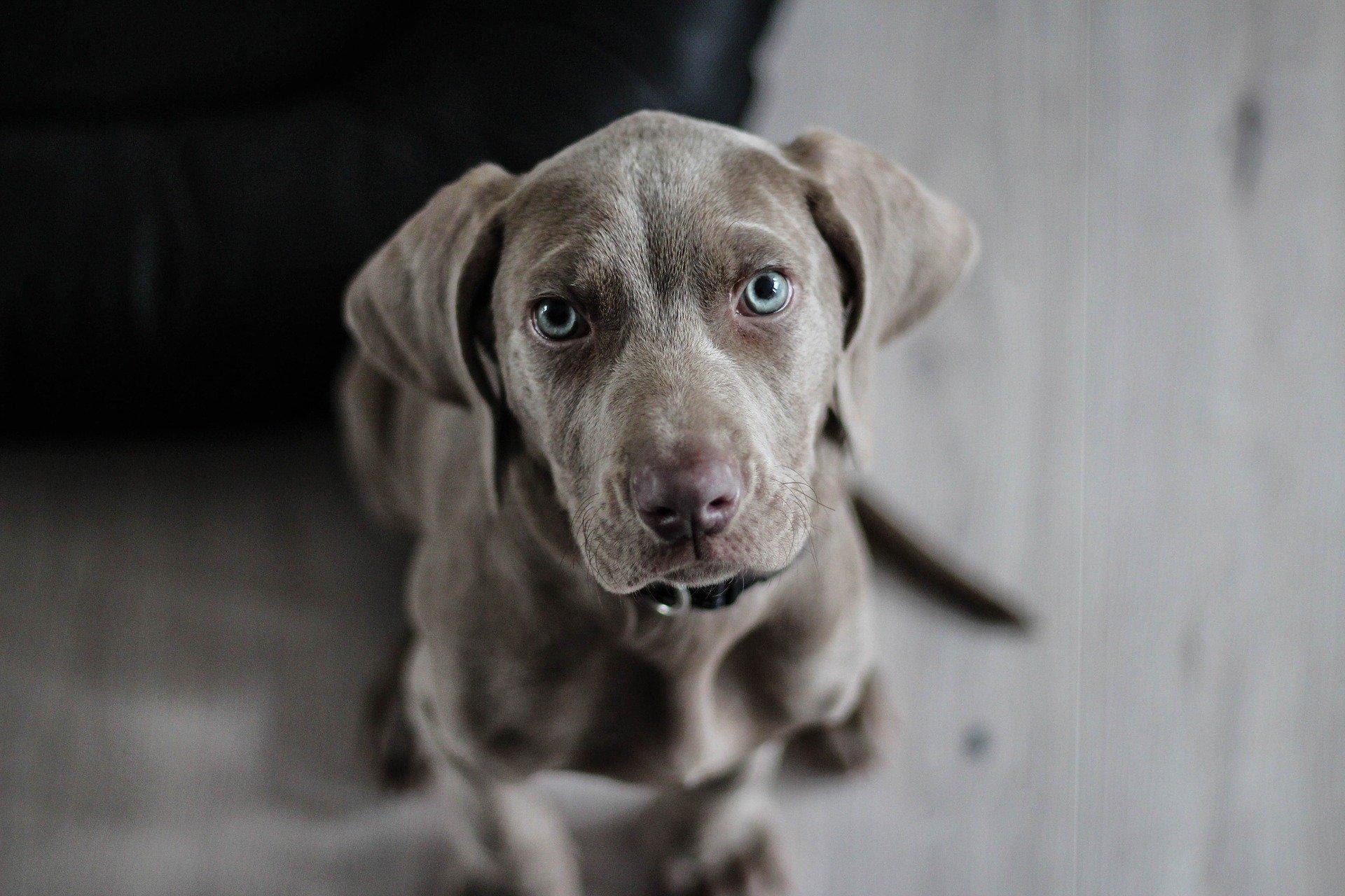 Los corticoides actúan rápido en los perros