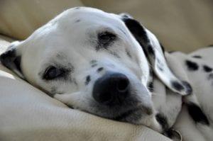 La leucemia es una grave afección que los perros pueden llegar a padecer