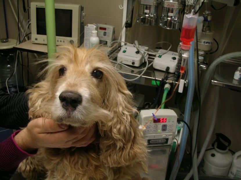 ¿Como afecta esta enfermedad a los perros?