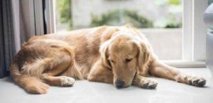 Perro triste con dolor de estómago