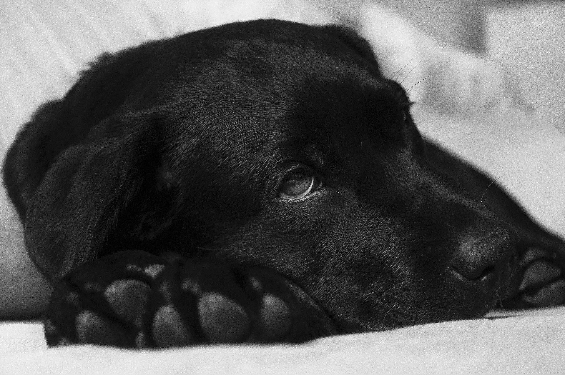 La apatía es un síntoma de dolor de estómago en perros