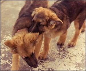Las perras en celo pueden volverse agresivas con otros perros