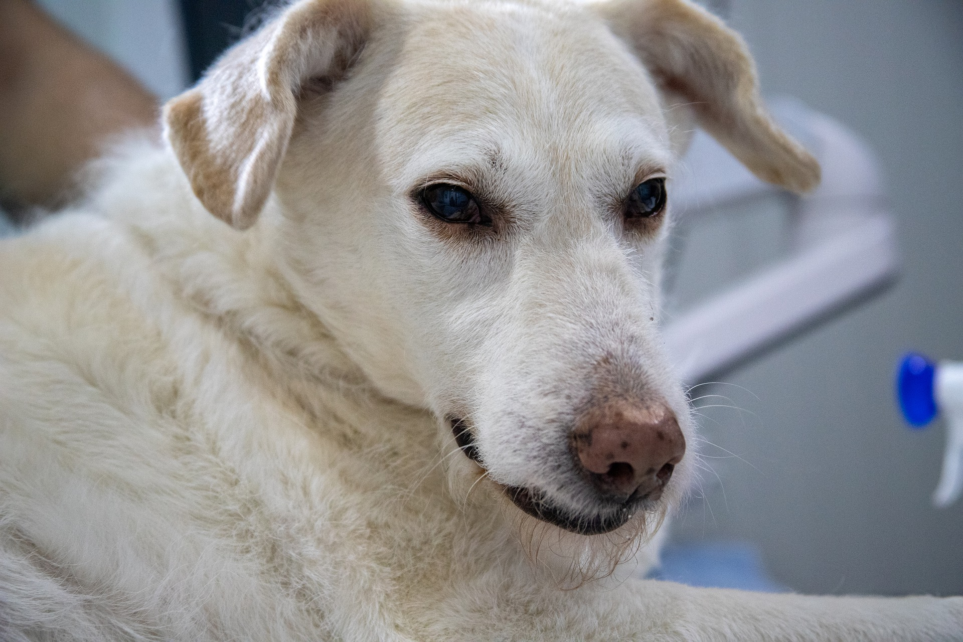 El dolor de estómago en perros es un síntoma común