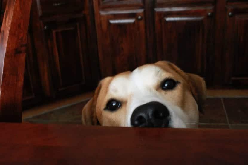 Perro adulto con cálculos renales
